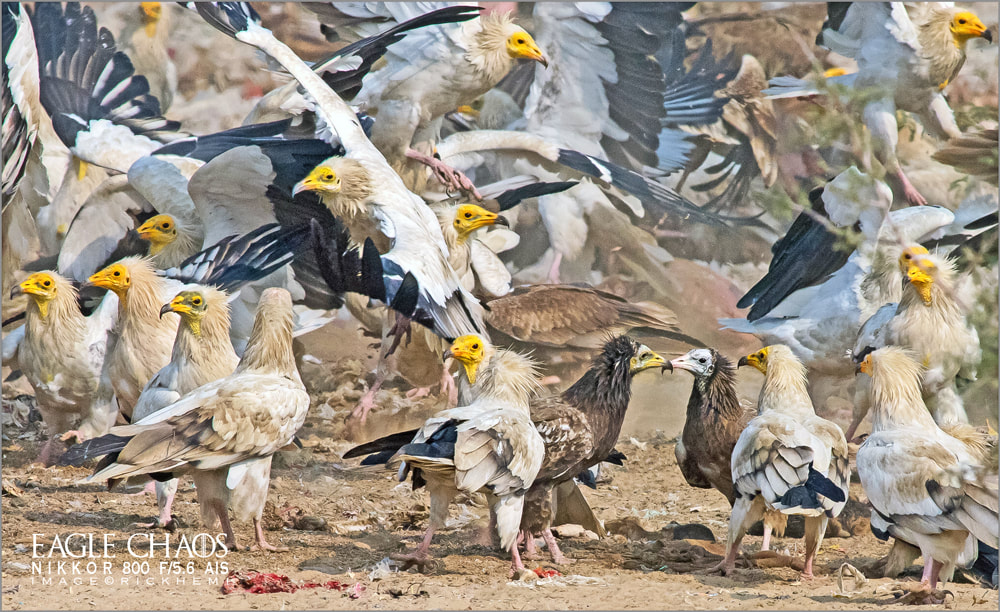 solo travel wildlife photography, Egyptian vultures, Nikkor 800mm f/5.6 ED-IF AIS lens, image by Rick Hemi