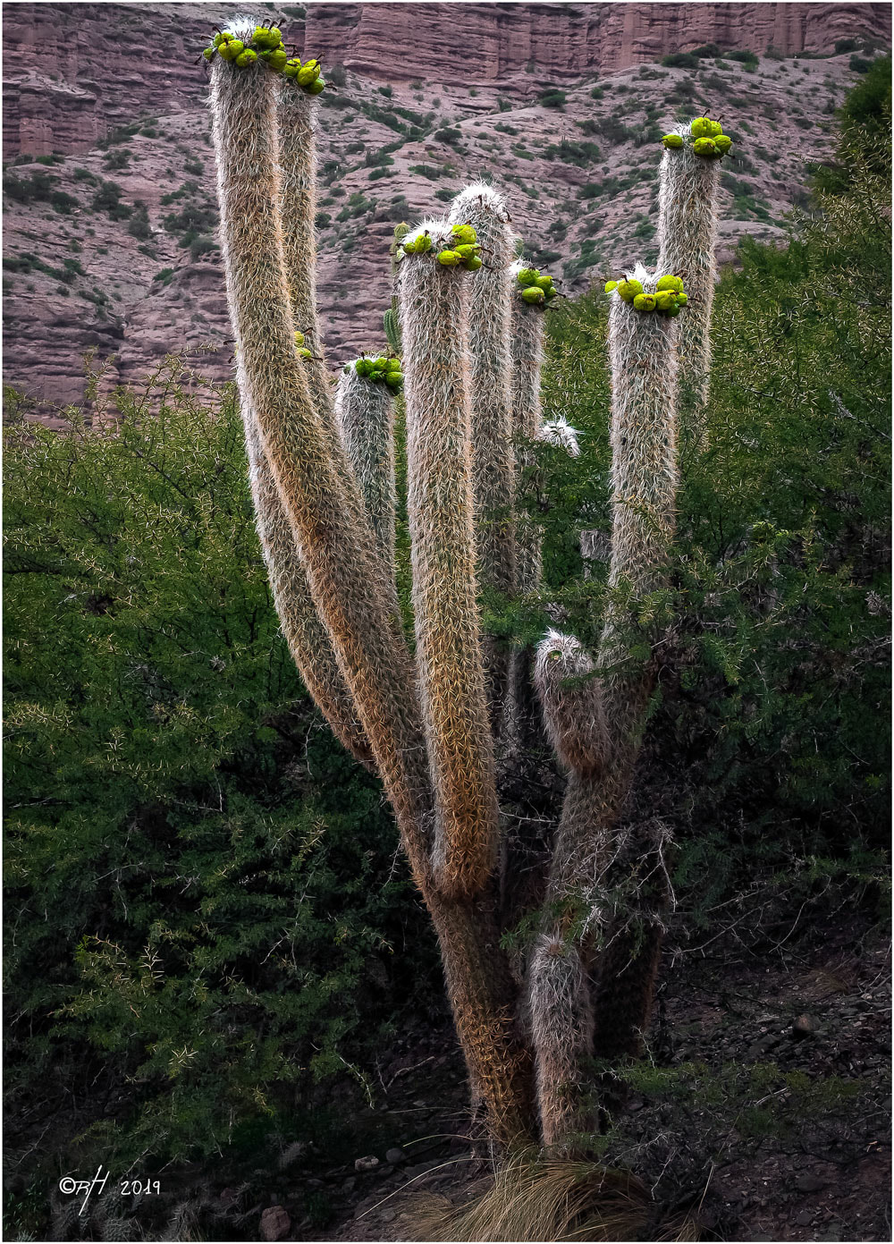 Old man cacti-Bolivian Andes