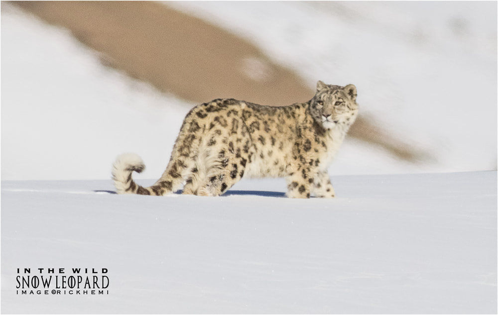 snow leopard in the Himalaya wilderness, image  by Rick Hemi