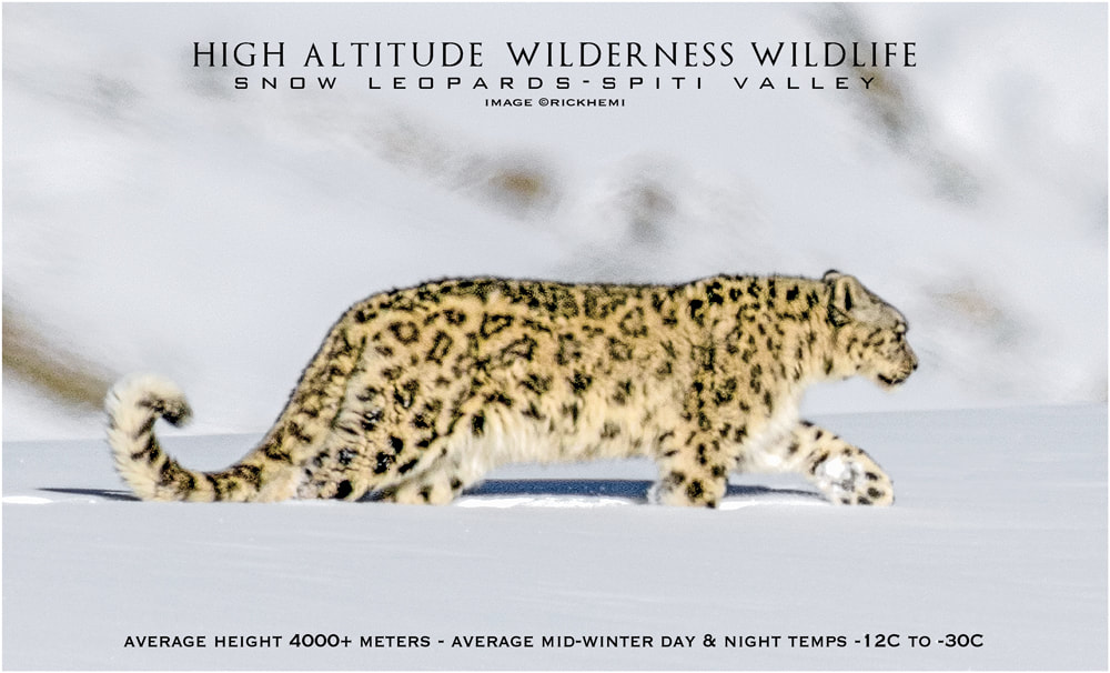 Himalayan snow leopard in winter, Nikon Nikkor 800mm f/5.6  AIS lens, wildlife image by Rick Hemi 2020