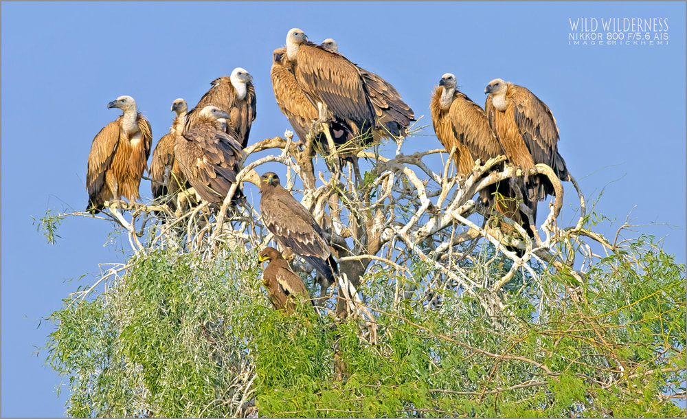 wildlife photography, vultures and eagles image capture by Rick Hemi