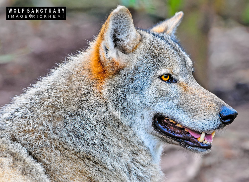 overland travel Africa, wolf image by rick hemi